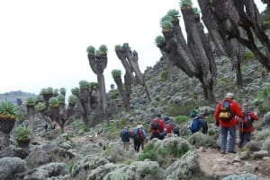 Walking through a grove of giant groundsels