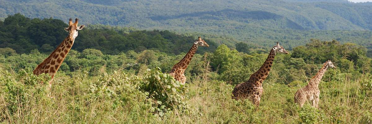 Four giraffes in Arusha National Park looking for the news