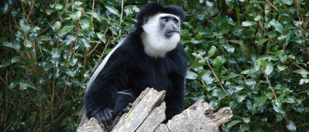 Colobus monkey on Kilimanjaro